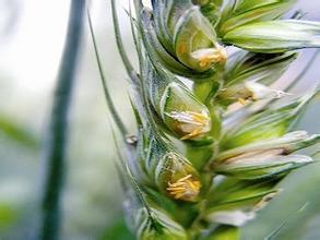 【小麥病蟲害】小麥吸漿蟲如何防治