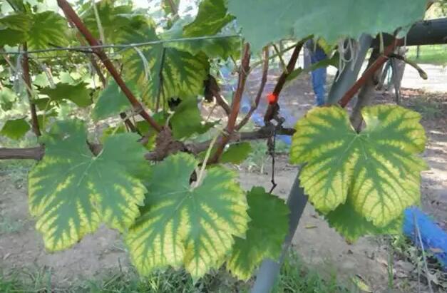 葡萄缺素葉片黃化,如何補救?