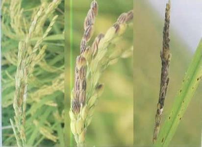 【水稻病蟲害】水稻穎枯病防治技術