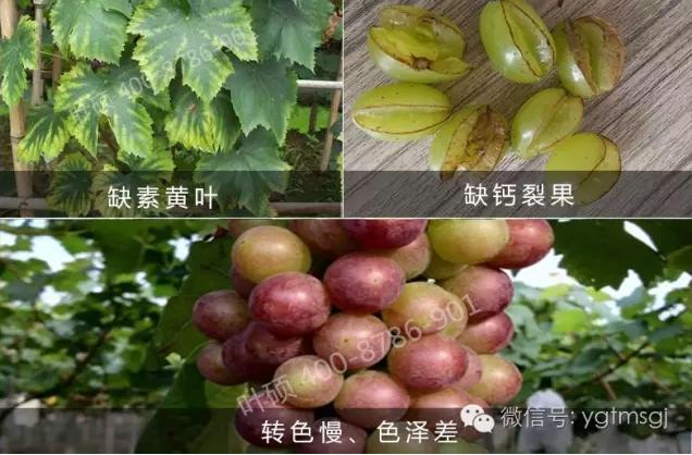 葡萄萌芽慢,發芽不整齊怎麽辦?