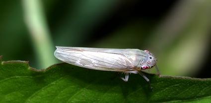 【水稻病蟲害】白翅葉蟬的爲害特點與防治措施